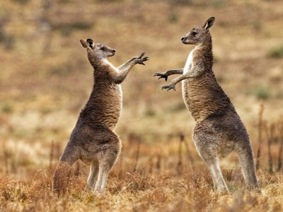 Young male kangaroos fighting in the rain