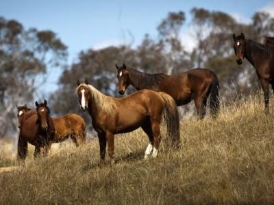 brumby stallion namadgi national park