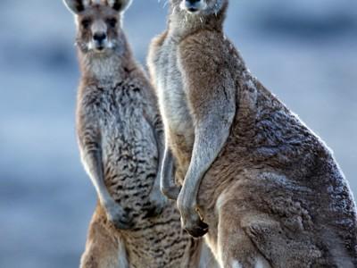 eastern gray kangaroos in the snow