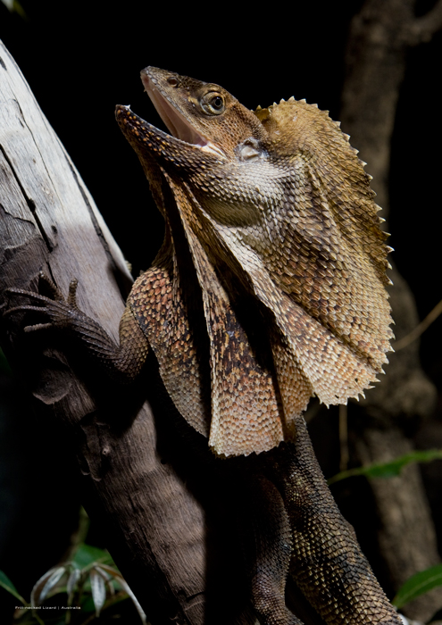 Frill-necked lizard poster