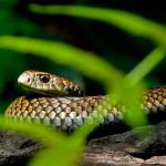 Lowland Copperhead snake