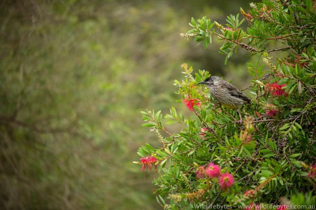 Wattle Bird feeding