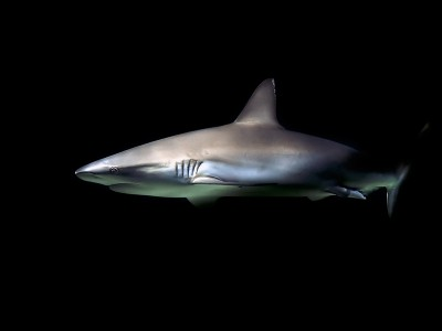 Sandbar whaler shark
